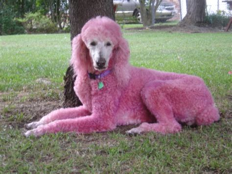 pink dogs dogs pink poodle