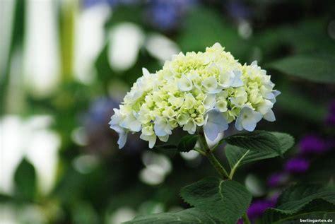 pflanzen hortensien hortensien fotos hortensie uannabelleu pflanze hydrangea