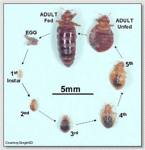 how many bed bugs are in a bed bedbugs and their proper control united exterminating