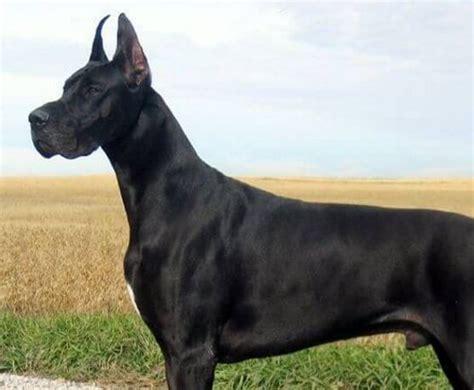 gran danes las 25 mejores ideas sobre gran dan 233 s en perros gran dan 233 s grandes