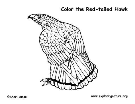 hawk red tailed coloring page