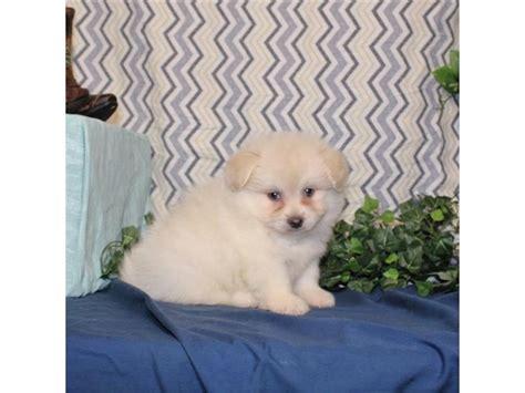 pomeranian bichon pomeranian bichon my next puppy