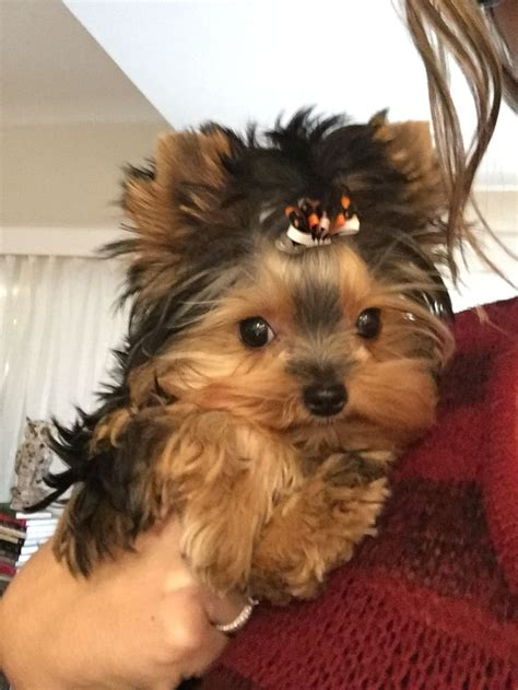 yorkie rescue manchester 385 best images about i yorkies on terrier puppys and
