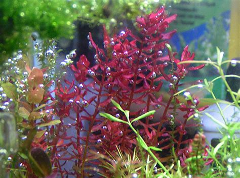 Rotala Butterfly rotala mini butterfly www pixshark images