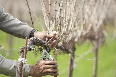all about grapevine pruning