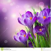 Crocus Spring Flowers Royalty Free Stock Image - Image: 24125386