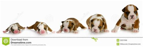 puppy growth stages boy puppy names small dogs puppies puppy