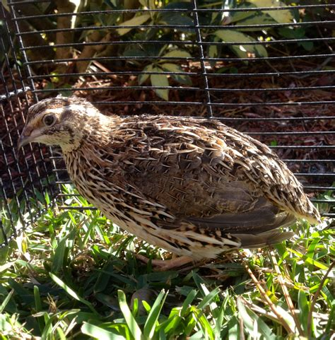 Backyard Quail by Coturnix Quails Backyard Ducks