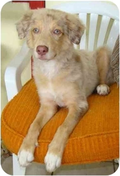 catahoula golden retriever mix faith adopted haughton la golden retriever catahoula leopard mix