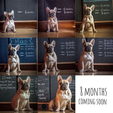 american bully puppy weight chart bull terrier puppy weight chart dogs in our photo