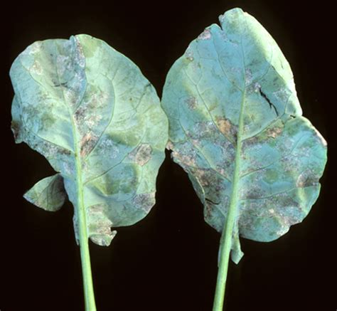 broccoli plant diseases brassicas downy mildew center for agriculture food and