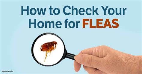 how to rid of fleas how to get rid of fleas naturally