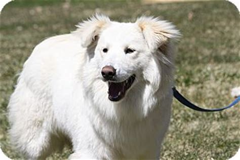 samoyed mix golden retriever lucky adopted west milford nj samoyed golden retriever mix