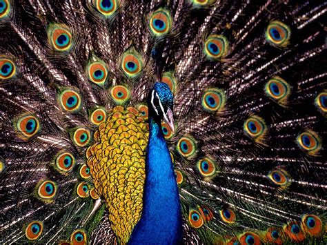 peacock wallpapers wallpapers peacock wallpapers