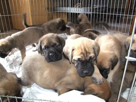 mastiff puppies for adoption gorgeous mastiff puppies for adoption dublin dogs for sale puppies for sale