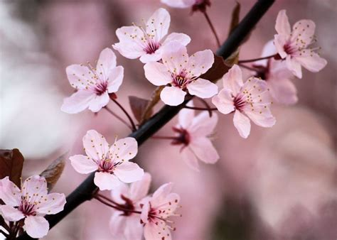 cherry blossom image pink color images blooming pink cherry blossom hd wallpaper and background photos 34590841