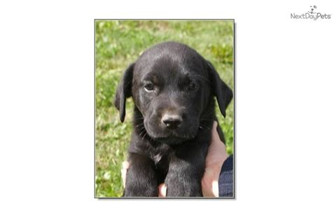 rottweiler lab mix puppies for sale meet troy a labrador retriever puppy for sale for 150 troy rottweiler lab mix