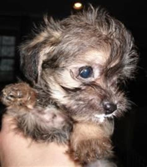 yorkie poo rescue nc yorkie poo puppies yorkie and puppys on