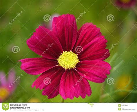 fiori dell fiore rosa scuro dell universo immagine stock immagine