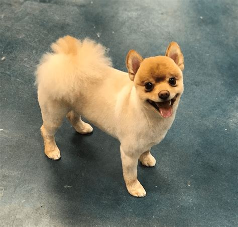 teddy cut pomeranian picture 9 wildly pomeranian haircut styles to the fluff