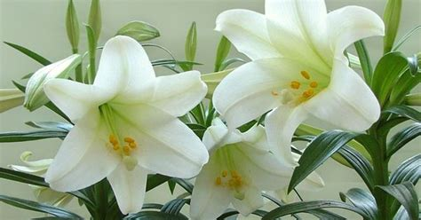 can easter lilies be planted outside easter lilies you can plant your easter lilies outdoors