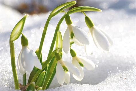 snow drop nature notes snowdrop flower is marker of growing season