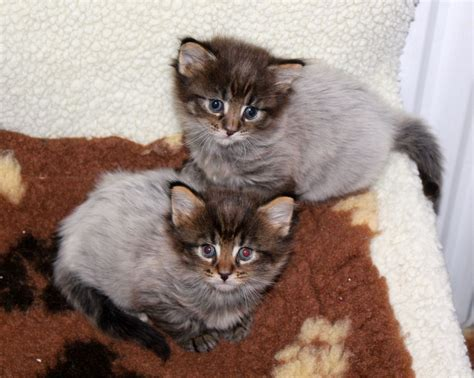 mainecoon x ragdoll kittens   London, South West London