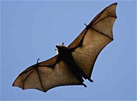 mammifero volante il pipistrello