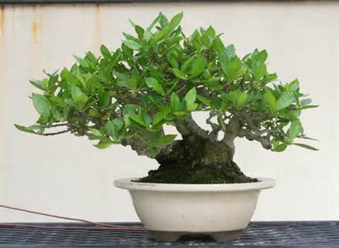 Gardenia Pine Tree New Shohin Display Capital Bonsai
