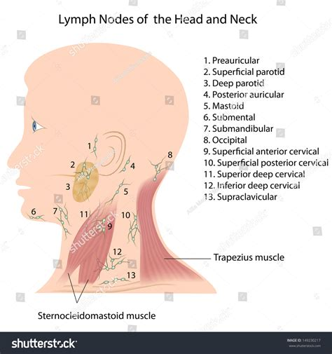 glands in the neck and throat diagram photos neck lymph nodes anatomy diagram charts