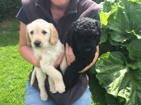labradoodles puppies for sale hshire labradoodle puppy s for sale macclesfield cheshire
