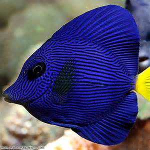 Go Back > Gallery For > Purple And Yellow Freshwater Fish