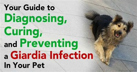 giardia transmission human to dog pictures to pin on pinterest pinsdaddy