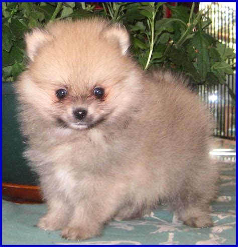 pomeranian colors white pomeranian colors poofy poochies