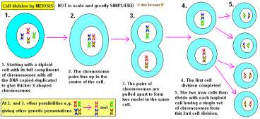 Cell ision meiosis middle school science pinterest