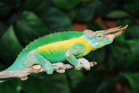 mt kenyan jacksons chameleons for sale at fl chams