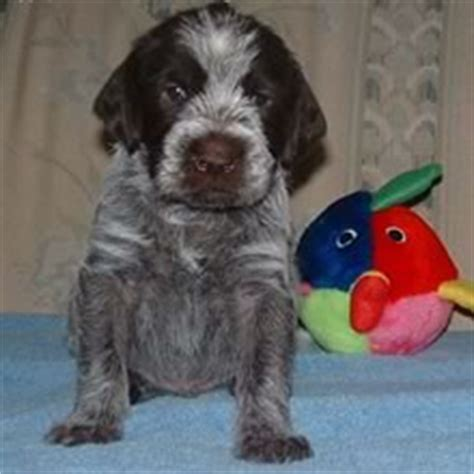 wirehaired pointing griffon puppies price wirehaired pointing griffon puppies for sale