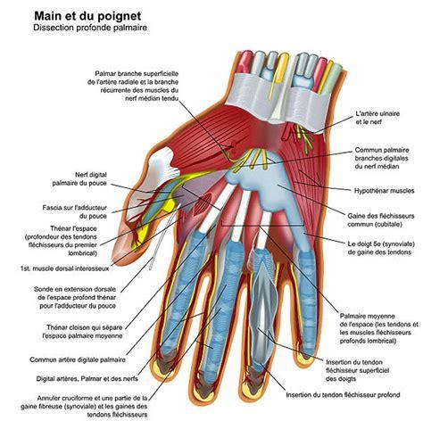 imagenes netter pdf anatomie de la main