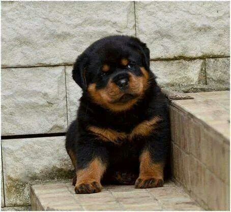 tough boy names for rottweilers 17 best images about rottweiler on rottweiler breeders puppys and rottweilers