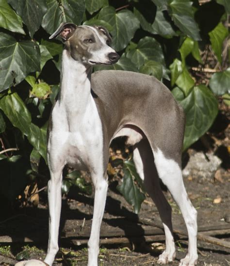 puppies rescued in italy italian greyhound puppies rescue pictures information temperament