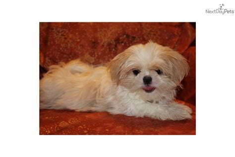 shih tzu puppies dfw shih tzu puppies shih tzu rescue and adoption near you autos post