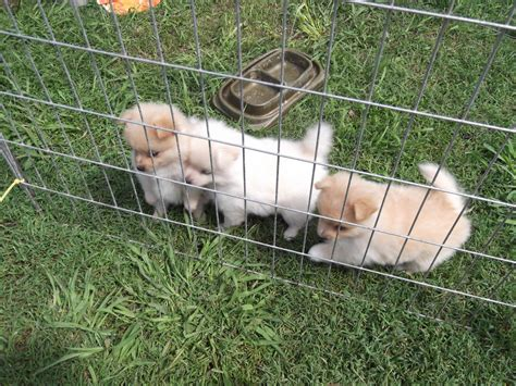 puppy week at home murim pomeranian puppy week at home preparations
