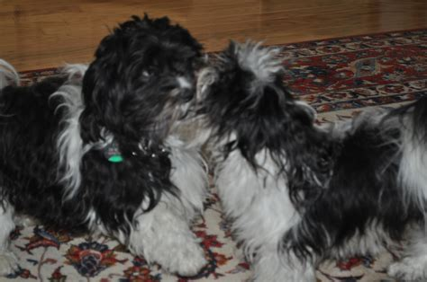 chion havanese puppies bichon havanese