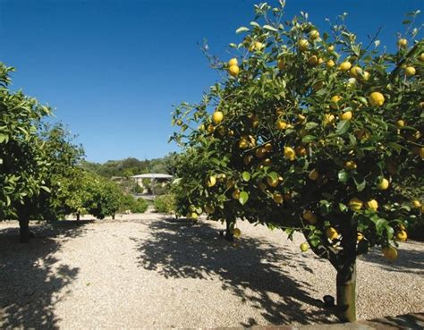 limone coltivazione in vaso coltivazione limone citrus limon citrus limon piante