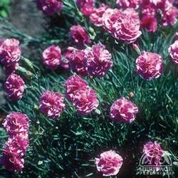 Perennial Garden Design Zone - plant profile for dianthus caryophyllus grenadin pink hardy carnation perennial