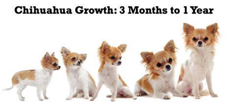 chihuahua puppy growth chart breed weight chart 100 images labrador retriever weight scale what to