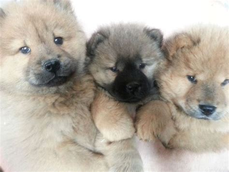 panda chow chow puppies for sale 25 best ideas about chow puppies for sale on bake sale cookies bake sale
