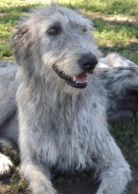Wolfhound Shed by Hunt Farms Wolfhounds Breeds Picture