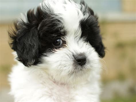 white shih tzu poodle mix pin shih tzu poodle yorkie mix on
