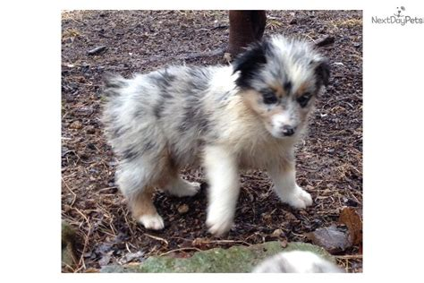 australian shepherd puppies for sale in tn australian shepherd puppy for sale near nashville tennessee 59bc0758 ed71
